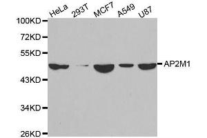 Image no. 2 for anti-Adaptor-Related Protein Complex 2, mu 1 Subunit (AP2M1) antibody (ABIN3023307)