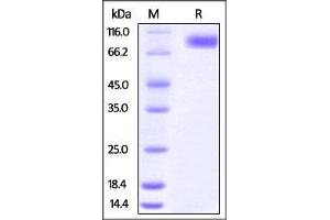 Image no. 2 for Poliovirus Receptor (PVR) (AA 21-343) (Active) protein (Fc Tag) (ABIN2870621)
