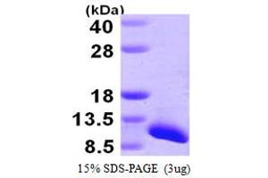 Image no. 1 for Small Nuclear Ribonucleoprotein Polypeptide G (SNRPG) (AA 1-76) protein (His tag) (ABIN667418)