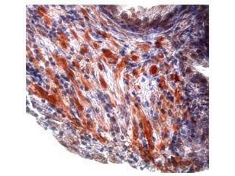 Immunohistochemistry (IHC) image for anti-Transforming Growth Factor, beta 1 (TGFB1) (Middle Region) antibody (ABIN927687)
