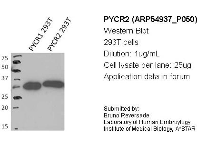 Image no. 2 for anti-Pyrroline-5-Carboxylate Reductase Family, Member 2 (PYCR2) (Middle Region) antibody (ABIN503605)