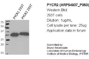 Image no. 1 for anti-Pyrroline-5-Carboxylate Reductase Family, Member 2 (PYCR2) (Middle Region) antibody (ABIN2785962)