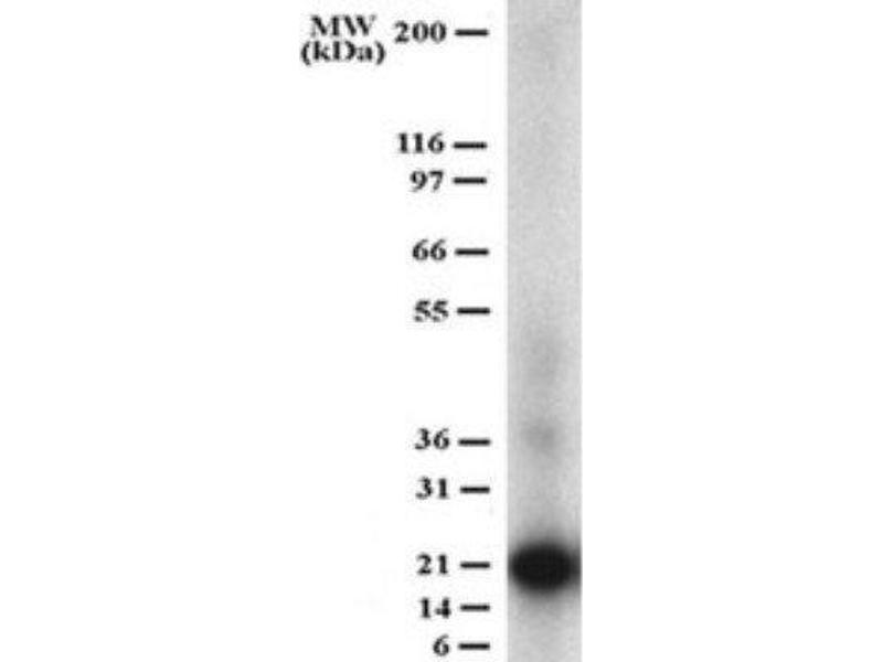 Western Blotting (WB) image for anti-TNFSF11 antibody (Tumor Necrosis Factor (Ligand) Superfamily, Member 11) (AA 1-317) (ABIN252684)