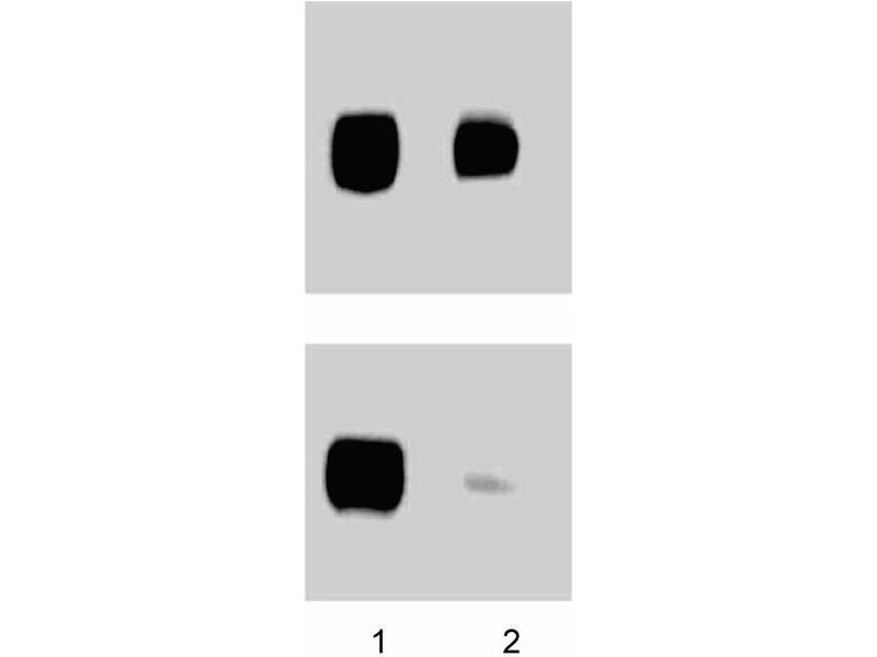 Western Blotting (WB) image for anti-PTK2 Protein tyrosine Kinase 2 (PTK2) (pTyr397) antibody (ABIN968644)