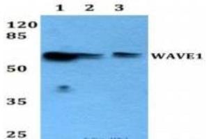 Western Blotting (WB) image for anti-WAS Protein Family, Member 1 (WASF1) antibody (ABIN408099)