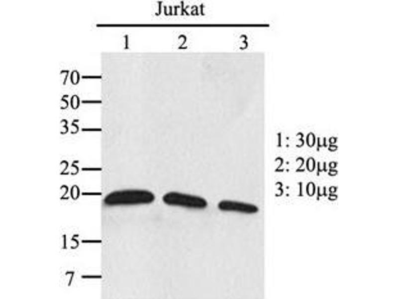 image for anti-Ras-Related C3 Botulinum Toxin Substrate 2 (Rho Family, Small GTP Binding Protein Rac2) (RAC2) (AA 1-189), (N-Term) antibody (ABIN954425)
