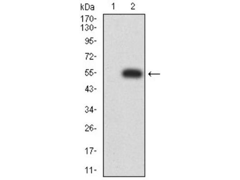 Western Blotting (WB) image for anti-Purinergic Receptor P2X, Ligand-Gated Ion Channel, 7 (P2RX7) (AA 226-452) antibody (ABIN5683747)