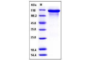 Image no. 1 for Receptor Tyrosine-Protein Kinase ErbB-3 (ERBB3) (AA 1-643), (Extracellular Domain) (Active) protein (His tag) (ABIN3216381)