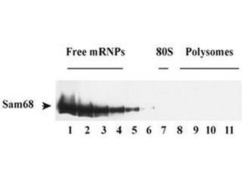 Western Blotting (WB) image for anti-KH Domain Containing, RNA Binding, Signal Transduction Associated 1 (KHDRBS1) antibody (ABIN1108931)