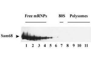 Western Blotting (WB) image for anti-KHDRBS1 antibody (KH Domain Containing, RNA Binding, Signal Transduction Associated 1) (ABIN1108931)