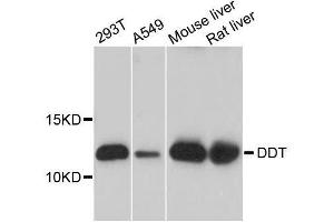 Image no. 1 for anti-D-Dopachrome Tautomerase (DDT) antibody (ABIN6139475)