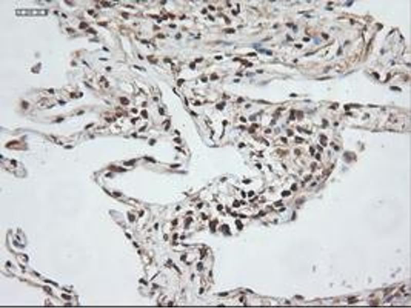 image for anti-Neurotrophin 3 antibody (NTF3) (ABIN1490920)