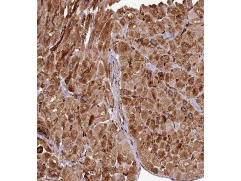 Immunohistochemistry (Paraffin-embedded Sections) (IHC (p)) image for anti-Microtubule-Associated Protein 4 (MAP4) antibody (ABIN4332659)