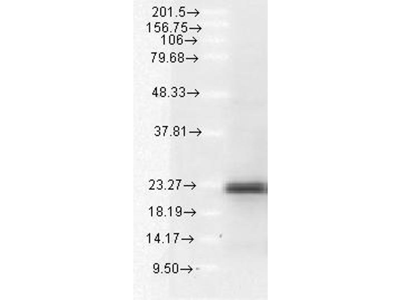 Western Blotting (WB) image for anti-BCL2-Like 11 (Apoptosis Facilitator) (BCL2L11) antibody (ABIN361752)