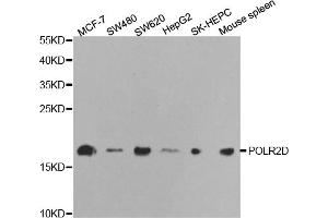Image no. 1 for anti-Polymerase (RNA) II (DNA Directed) Polypeptide D (POLR2D) antibody (ABIN6568946)