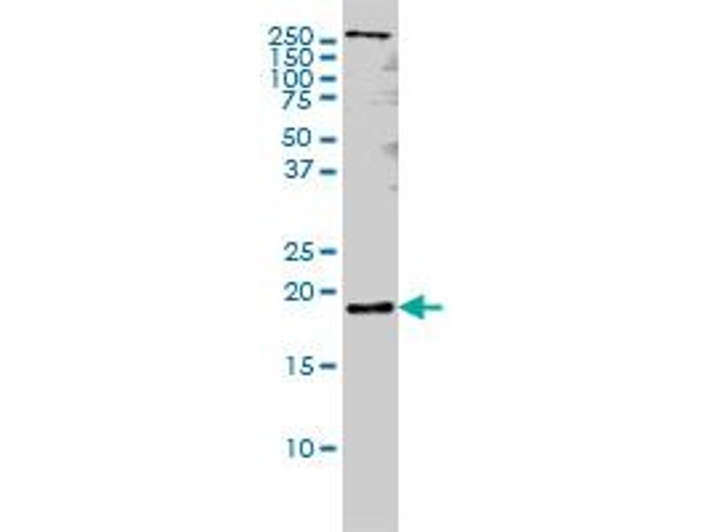 Western Blotting (WB) image for anti-Pleiotrophin (PTN) (AA 45-154), (partial) antibody (ABIN562528)