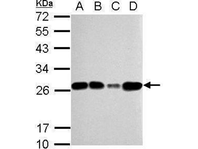 Western Blotting (WB) image for anti-Transcription Factor A, Mitochondrial (TFAM) (Center) antibody (ABIN2855585)
