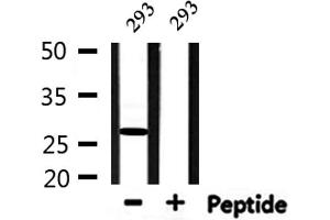 Image no. 3 for anti-High Mobility Group Box 2 (HMGB2) antibody (ABIN6258843)