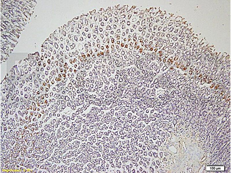 Immunohistochemistry (IHC) image for anti-Leptin Receptor (LEPR) (AA 905-942) antibody (ABIN725060)