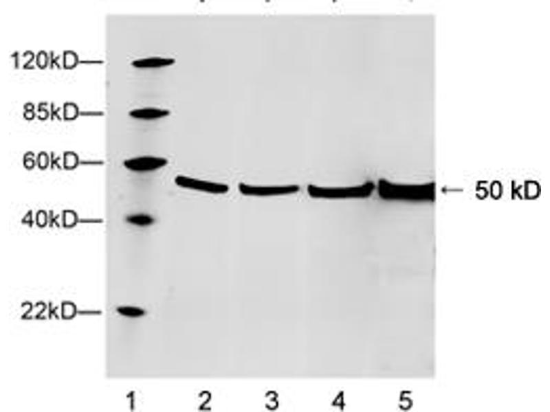 Western Blotting (WB) image for anti-TUBB3 antibody (Tubulin, Beta, 3) (AA 150-200) (ABIN1574042)