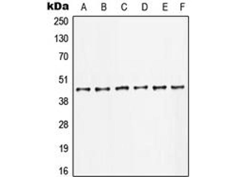Western Blotting (WB) image for anti-C-JUN antibody (Jun Proto-Oncogene) (Center) (ABIN2705622)