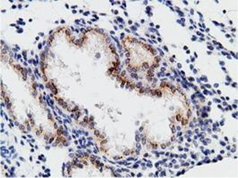 image for anti-CD80 (CD80) antibody (ABIN1497365)