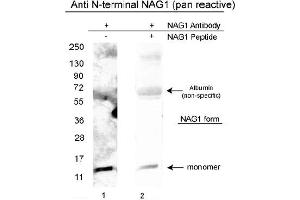 anti-Growth Differentiation Factor 15 (GDF15) (N-Term), (Variant D), (Variant H) antibody