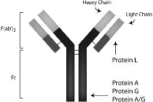 Image no. 1 for Protein A protein (Sepharose) (ABIN964524)