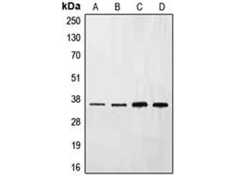 Western Blotting (WB) image for anti-Ephrin B3 (EFNB3) (C-Term) antibody (ABIN2704770)