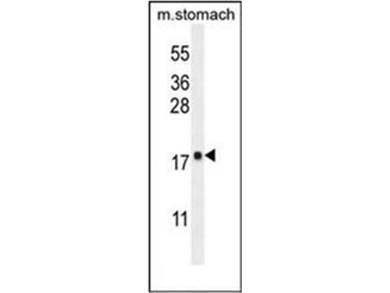 Western Blotting (WB) image for anti-Dynein, Light Chain, Roadblock Type 2 (DYNLRB2) (AA 56-85), (Middle Region) antibody (ABIN952007)