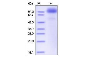 Image no. 1 for Scavenger Receptor Class B, Member 2 (SCARB2) (AA 27-432) protein (Fc Tag) (ABIN2181727)