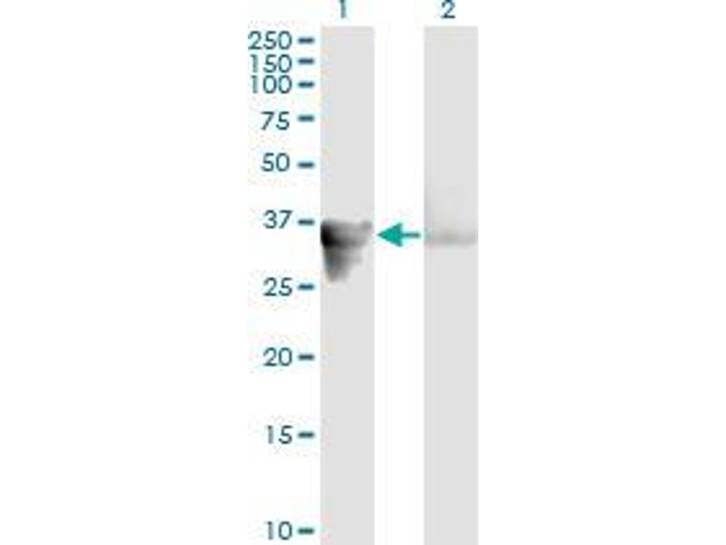Western Blotting (WB) image for anti-Growth Arrest-Specific 2 (GAS2) (AA 1-111) antibody (ABIN393205)