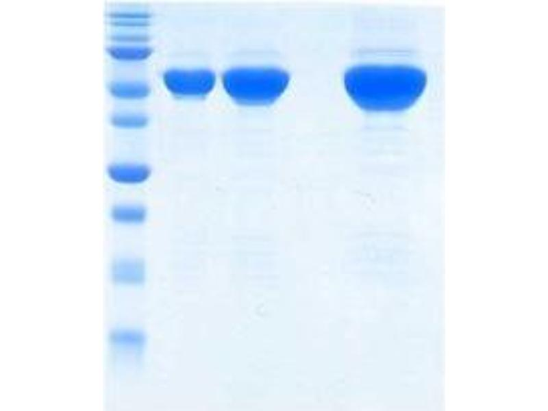 SDS-PAGE (SDS) image for Influenza Nucleoprotein (NP) protein (ABIN3172540)