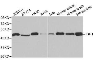 Image no. 2 for anti-Isocitrate Dehydrogenase 1 (NADP+), Soluble (IDH1) antibody (ABIN3023106)