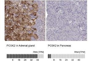 Immunohistochemistry (Paraffin-embedded Sections) (IHC (p)) image for anti-Proprotein Convertase Subtilisin/kexin Type 2 (PCSK2) antibody (ABIN4347753)