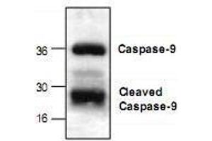 Western Blotting (WB) image for anti-Caspase 9, Apoptosis-Related Cysteine Peptidase (CASP9) antibody (ABIN222874)