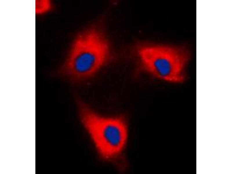 Immunofluorescence (IF) image for anti-tyrosine 3-Monooxygenase/tryptophan 5-Monooxygenase Activation Protein, theta Polypeptide (YWHAQ) (C-Term) antibody (ABIN2704426)