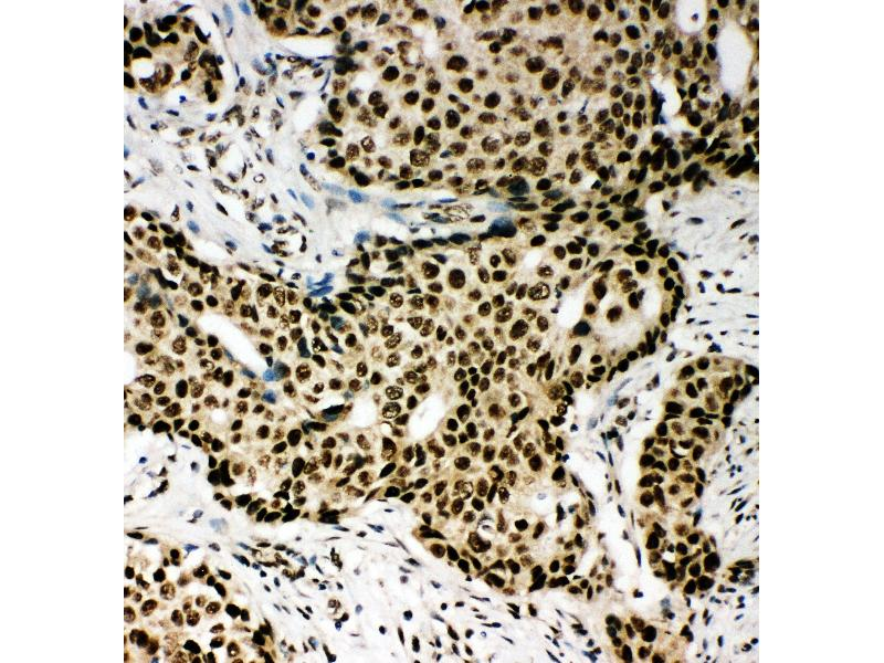 Immunohistochemistry (IHC) image for anti-Peroxisome Proliferator-Activated Receptor alpha (PPARA) (AA 393-412), (C-Term) antibody (ABIN3044397)
