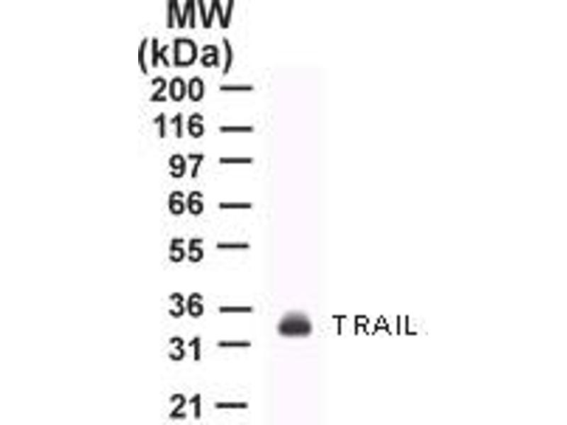 Western Blotting (WB) image for anti-Tumor Necrosis Factor (Ligand) Superfamily, Member 10 (TNFSF10) antibody (ABIN252480)