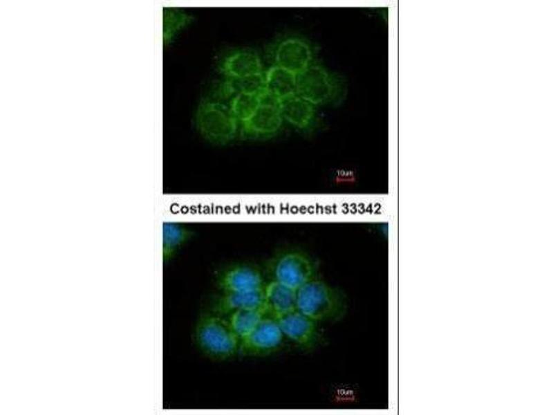 Immunofluorescence (IF) image for anti-Crk antibody (V-Crk Sarcoma Virus CT10 Oncogene Homolog (Avian)) (Center) (ABIN2854888)
