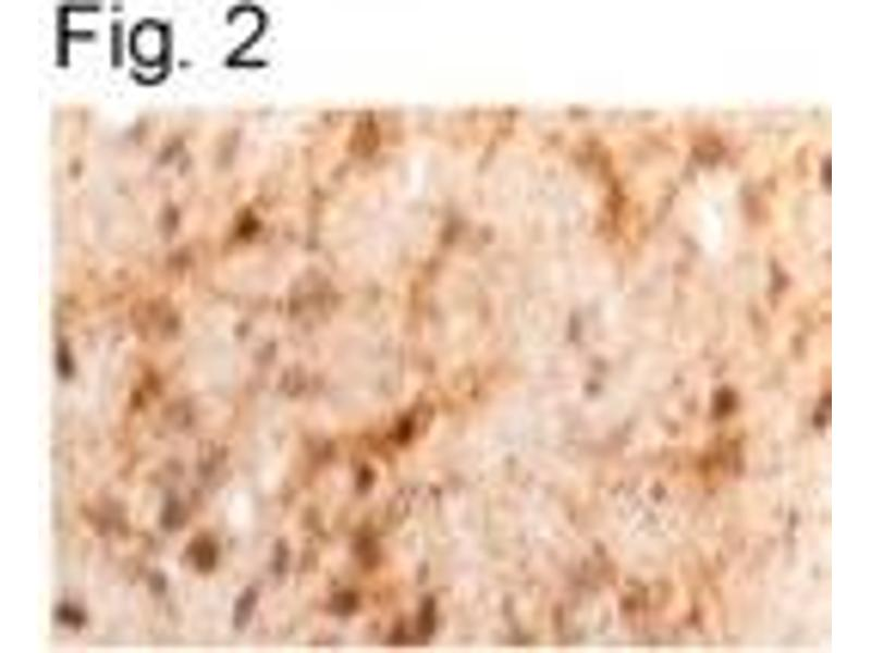 Immunohistochemistry (IHC) image for anti-Leptin antibody (LEP) (ABIN152764)