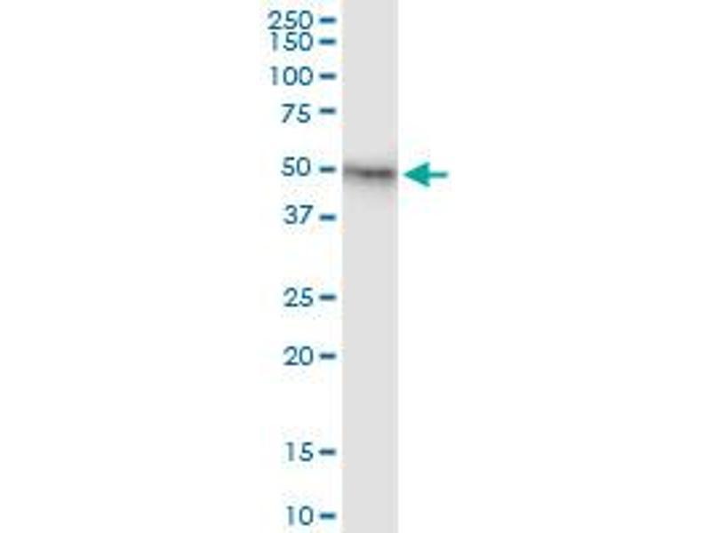 Immunoprecipitation (IP) image for anti-FIGF antibody (C-Fos Induced Growth Factor (Vascular Endothelial Growth Factor D)) (AA 1-354) (ABIN515661)