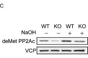 Image no. 7 for anti-Valosin Containing Protein (VCP) (N-Term) antibody (ABIN2856882)