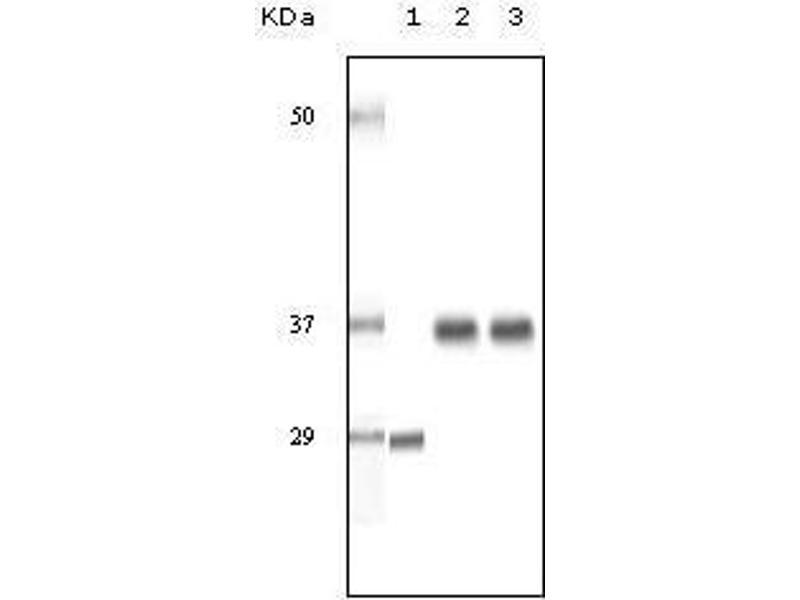 Image no. 2 for anti-Steroid Receptor RNA Activator 1 (SRA1) antibody (ABIN969416)