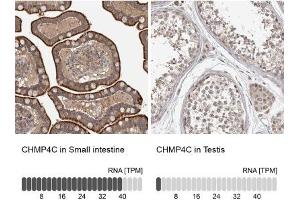 Immunohistochemistry (Paraffin-embedded Sections) (IHC (p)) image for anti-Charged Multivesicular Body Protein 4C (CHMP4C) antibody (ABIN4298014)