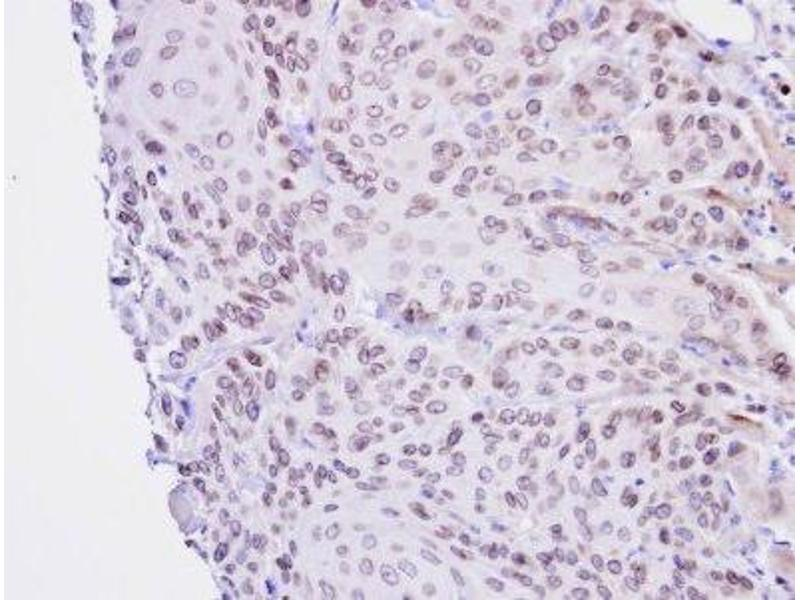 Immunohistochemistry (Paraffin-embedded Sections) (IHC (p)) image for anti-Lamin B2 (LMNB2) (Center) antibody (ABIN443145)