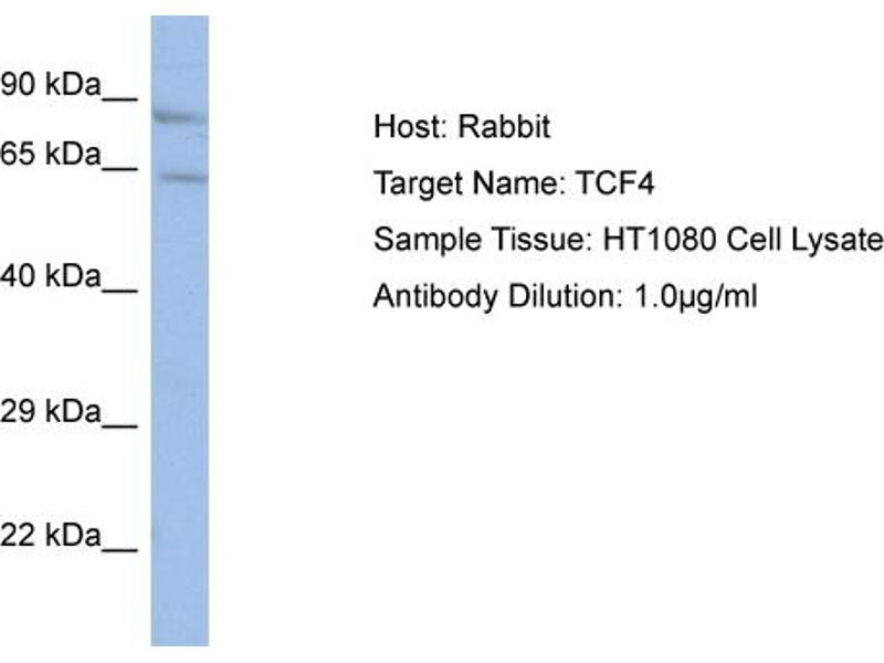 Western Blotting (WB) image for anti-TCF4 antibody (Transcription Factor 4) (N-Term) (ABIN2792579)