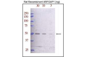 Western Blotting (WB) image for anti-ARFGAP1 antibody (ADP-Ribosylation Factor GTPase Activating Protein 1) (AA 377-406) (ABIN388996)