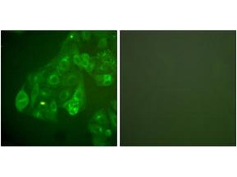 Image no. 3 for anti-Gap Junction Protein, alpha 1, 43kDa (GJA1) (AA 333-382) antibody (ABIN483857)