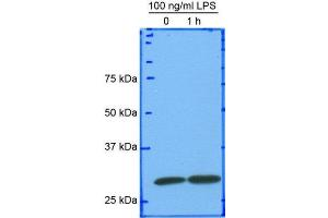 Western Blotting (WB) image for anti-HMGB1 antibody (High-Mobility Group Box 1) (AA 100-200) (ABIN250703)